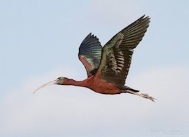 Birds: Glossy ibis in flight