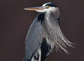Birds: Great blue heron