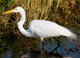 Birds: Great egret