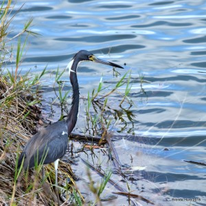 Tricolored Heron (Egretta tricolor) - one of 8 seen during Lee County Bird Patrol's April 7th 2018 guided tour at Lakes Park. PHOTO: Brenda Hurd