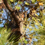 Great Horned Owl at Lakes Park Fort Myers, FL