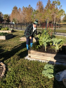 Harvesting food from the Lakes Park Community Garden for the Community Cooperative soup kitchen