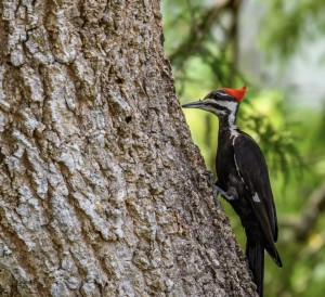 Pileated woodpecker on a tree in Lakes Park