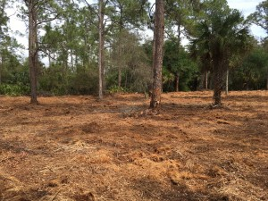 February 2019: Gopher tortoise habitat at Lakes Park after mowing, east