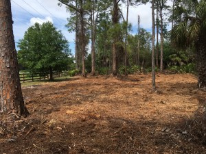 February, 2019: Gopher tortoise habitat at Lakes Park, north, after mowing.