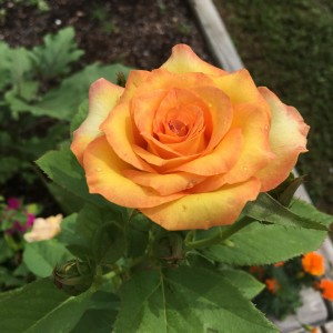 Roses can be incredibly difficult to grow in Florida, but this gardener sees to have gotten the hang of it. Love that color!