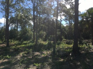 May 2019: Gopher tortoise habitat at Lakes Park with new growth in the understory, east