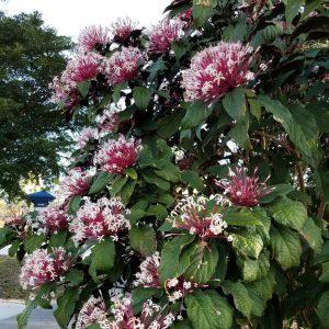 Starburst plant flowering in the Lakes Park Botanic Garden