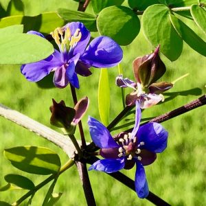 Holywood Lignum Vitae growing in the Fragrance Garden at Lakes Park in the gardens