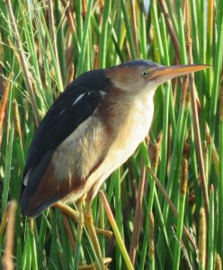Least Bittern photographed at Lakes Park by Janet Kirk
