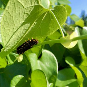 Caterpillar of the polydamas swallowtail butterfly on a dutchman's pipevine in Lakes Park's Botanic Garden